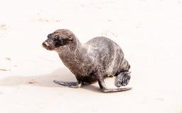 Cucciolo dell'otaria sulla spiaggia nel Galapagos Fotografia Stock