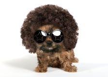 Cucciolo dell'Yorkshire terrier che indossa un afro ed i vetri di Sun fotografia stock libera da diritti