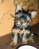 Cucciolo dell'Yorkshire terrier che si siede vicino ad una ciotola fotografia stock
