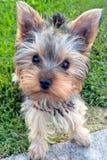 Cucciolo dell'Yorkshire terrier in erba Immagine Stock Libera da Diritti
