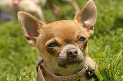 Cucciolo della chihuahua fotografia stock