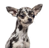 Cucciolo della chihuahua, 3 mesi, osservanti via Fotografia Stock Libera da Diritti