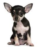 Cucciolo della chihuahua, 3 mesi, sedentesi Fotografia Stock Libera da Diritti