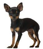 Cucciolo della chihuahua, 5 mesi, levantesi in piedi fotografie stock libere da diritti