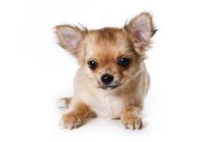 Cucciolo della chihuahua immagine stock