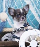 Cucciolo della chihuahua Fotografie Stock