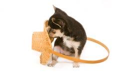 Cucciolo della chihuahua che gioca con il cestino Immagini Stock Libere da Diritti