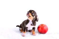 Cucciolo della chihuahua che gioca con la mela Immagine Stock Libera da Diritti