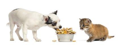 Cucciolo della chihuahua che mangia da una ciotola e da un gatto dorato asiatico Immagini Stock Libere da Diritti