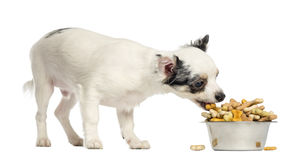 Cucciolo della chihuahua che mangia i biscotti per cani da una ciotola Fotografie Stock