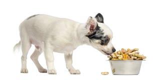 Cucciolo della chihuahua che mangia i biscotti per cani da una ciotola Immagine Stock