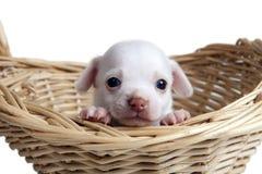 Cucciolo della chihuahua che osserva fuori dal cestino immagine stock libera da diritti
