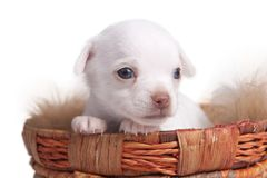 Cucciolo della chihuahua che osserva fuori dal cestino immagine stock