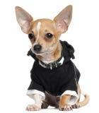 Cucciolo della chihuahua che porta hoodie nero, 5 mesi Fotografia Stock