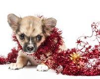 Cucciolo della chihuahua con la canutiglia rossa di natale Fotografie Stock Libere da Diritti