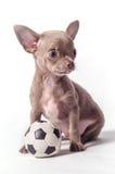 Cucciolo della chihuahua con la palla Immagini Stock