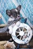 Cucciolo della chihuahua con le zampe Fotografia Stock
