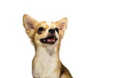 Cucciolo della chihuahua di Brown Immagine Stock