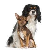 Cucciolo della chihuahua e spaniel di re Charles del Cavalier Fotografia Stock Libera da Diritti