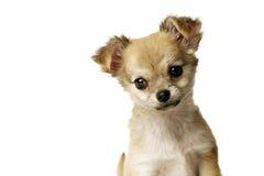 Cucciolo della chihuahua isolato su bianco Fotografie Stock Libere da Diritti