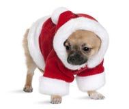 Cucciolo della chihuahua nel vestito del Babbo Natale, levantesi in piedi Fotografia Stock