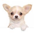 Cucciolo della chihuahua sopra l'insegna bianca Fotografia Stock
