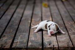 Cucciolo della chihuahua su un pavimento di legno Fotografia Stock Libera da Diritti