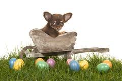 Cucciolo della chihuahua in una carriola su un'erba con le uova di Pasqua colorate Immagini Stock Libere da Diritti