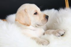Cucciolo della crema del documentalista di labrador Fotografia Stock Libera da Diritti