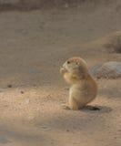 Cucciolo della marmotta Fotografie Stock