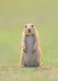 Cucciolo della marmotta di prateria che sta con le zampe e gli orecchi giù Fotografia Stock Libera da Diritti
