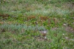 Cucciolo della marmotta a pranzo fotografie stock libere da diritti
