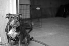 Cucciolo della miscela di Pitbull Fotografia Stock Libera da Diritti