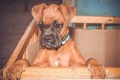 Cucciolo della razza del pugile fotografie stock