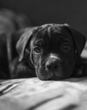 Cucciolo della razza di Cane Corso, cane astuto Immagine Stock