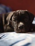 Cucciolo della razza di Cane Corso, cane molto astuto Immagini Stock