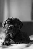 Cucciolo della razza di Cane Corso che esamina la macchina fotografica Fotografia Stock Libera da Diritti