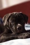 Cucciolo della razza di Cane Corso, giovane cane Fotografia Stock