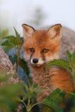 Cucciolo della volpe rossa nei pensieri Fotografie Stock