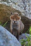 Cucciolo della volpe rossa nella sua casa rocciosa Immagini Stock