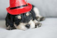 Cucciolo dello schnauzer con il cappello di Natale Fotografia Stock Libera da Diritti