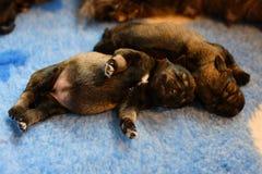 Cucciolo dello schnauzer miniatura dai genitori del campione Fotografie Stock Libere da Diritti