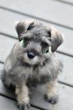 Cucciolo dello Schnauzer miniatura del pepe e del sale Fotografia Stock