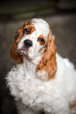 Cucciolo dello Spaniel che esamina la macchina fotografica Fotografie Stock Libere da Diritti