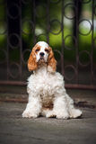 Cucciolo dello Spaniel che si siede e che esamina la macchina fotografica Immagini Stock