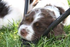 Cucciolo dello Spaniel di imposta della volta Fotografia Stock Libera da Diritti