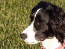Cucciolo dello Spaniel di imposta della volta inglese Fotografia Stock Libera da Diritti