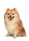 Cucciolo dello Spitz fotografia stock