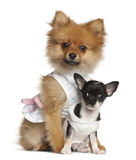 Cucciolo dello Spitz, 3 mesi e cucciolo della chihuahua Immagine Stock Libera da Diritti