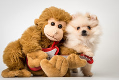 Cucciolo dello Spitz con una scimmia del giocattolo Fotografia Stock